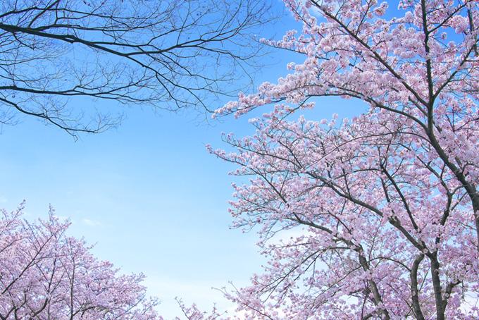春の空と綺麗な桜景色(桜 綺麗の画像)