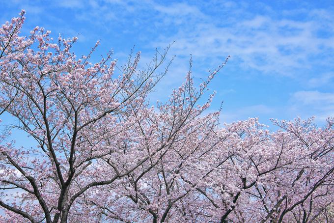 春の空と桜並木(桜 雲の画像)