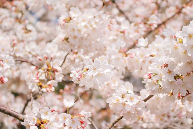 白い染井吉野の花(桜 花の画像)
