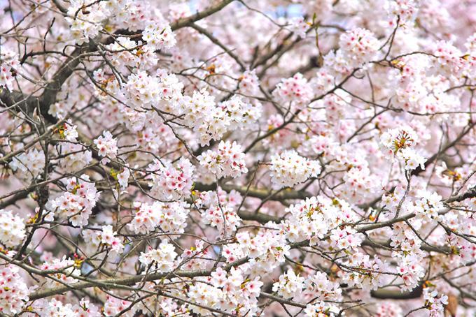 枝に可愛い花を付けた桜(桜 花の画像)