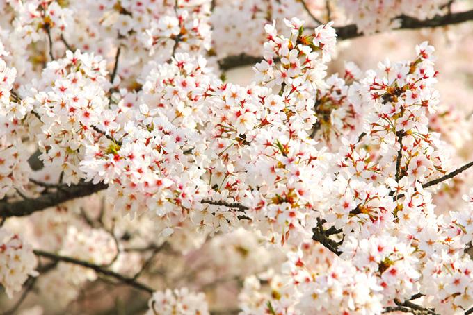 淡い光に染まる白い桜(桜 花の画像)