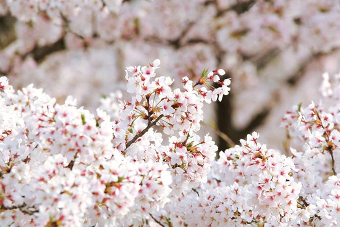 純白のさくらの花(桜 花の画像)