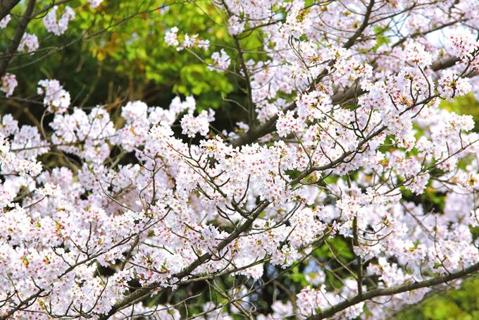 桜の花と新緑の背景(桜 花の画像)