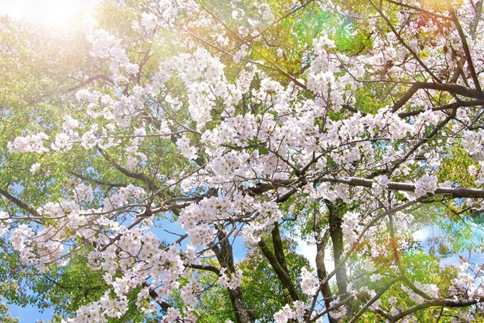 輝く桜と緑の背景(桜 綺麗の画像)