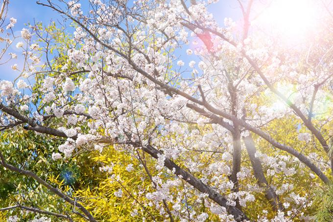色鮮やかな春の景色(桜 綺麗の画像)