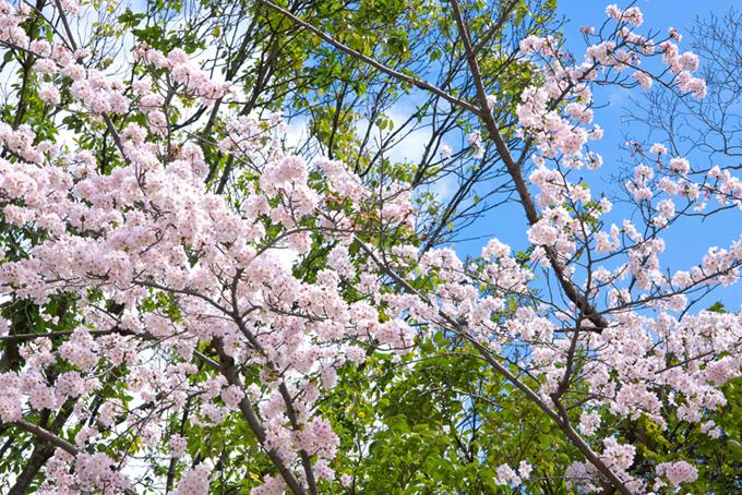 花咲く桜と新緑の木(桜 綺麗の画像)
