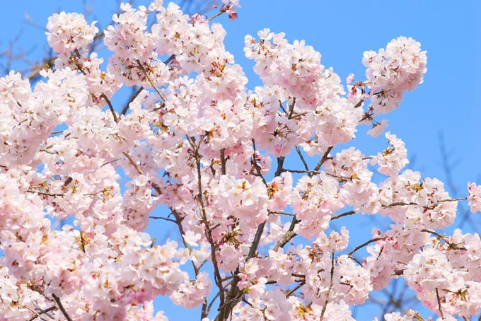 満開の桜と青い空(桜 花の画像)