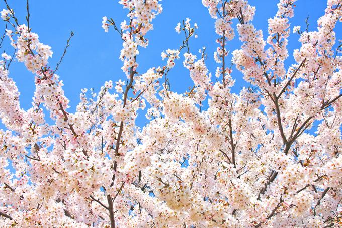 空に伸びる花咲く桜の枝(桜 白の画像)