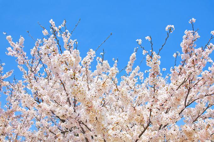 桜の花と蕾が残る枝先(桜 白の画像)