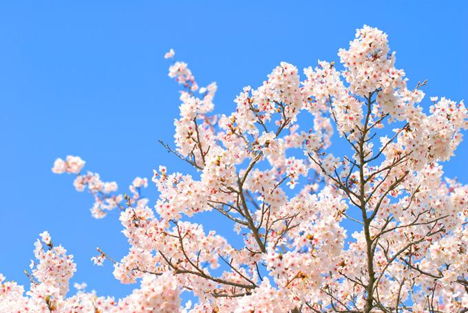 桜と青空の背景(桜 白の画像)