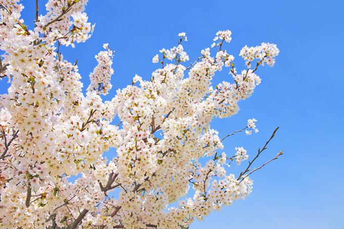 透き通る空と白い桜の花(桜 白の画像)