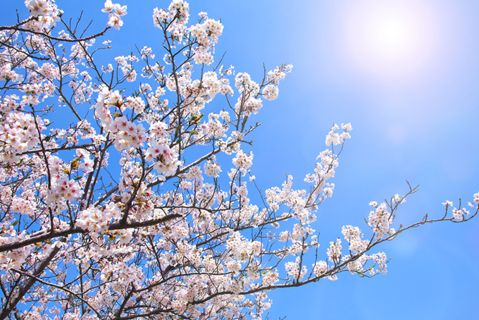 太陽と花を付けた桜の枝(桜 太陽の画像)