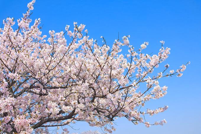 青空の背景と桜(桜 枝の背景フリー画像)