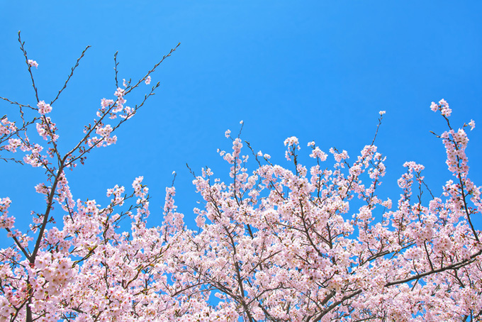 薄紅色の花と空に伸びる枝(桜 蕾の画像)