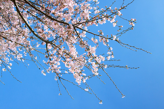 五分咲きの花と緑のつぼみ(桜 蕾の画像)