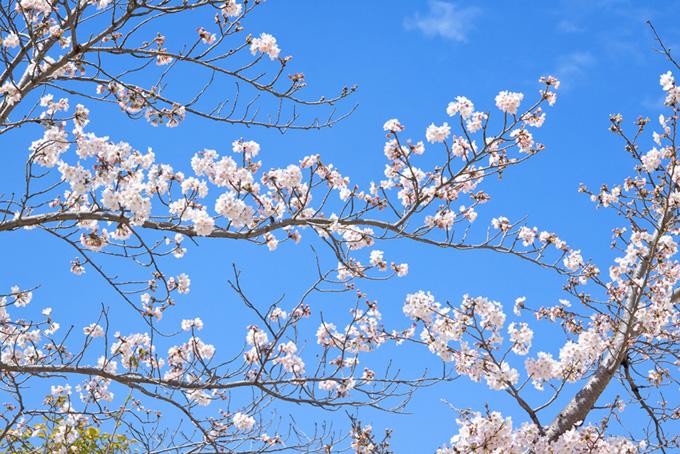 春の空と咲き始めるサクラ(桜 蕾の画像)