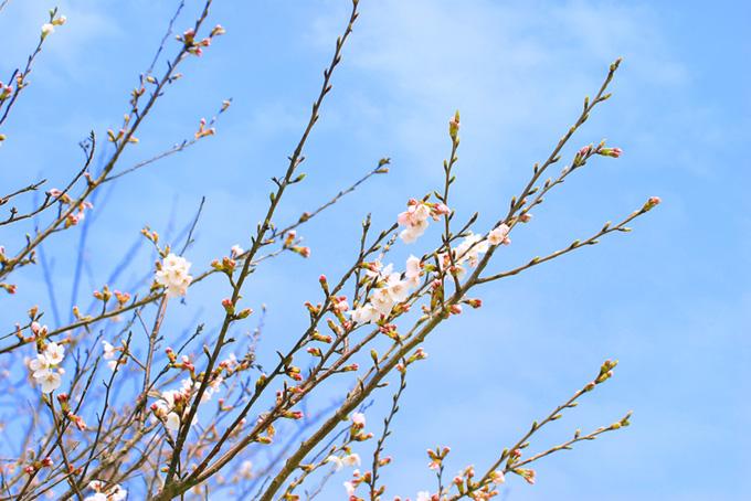 枝先の緑の蕾と開花する花(桜 蕾の画像)