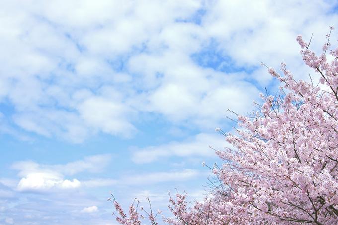 青空の背景と桜(桜 雲の画像)