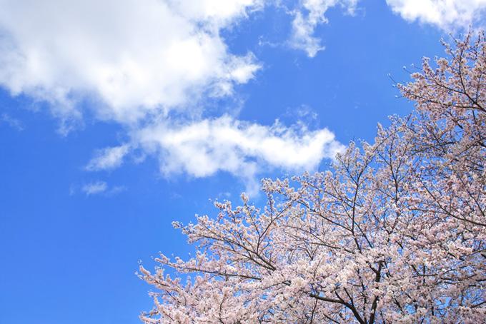 白い雲のある空と桜(桜 雲の画像)