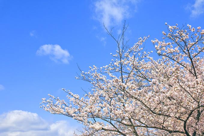 青空の背景と桜(桜並木の背景フリー画像)