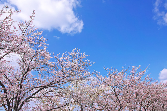 桜並木と爽やかな空(桜 雲の画像)