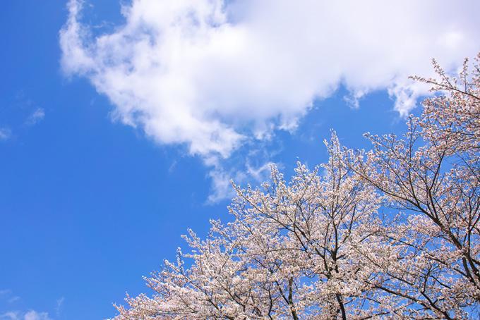 桜の上の白い大きな雲(桜 雲の画像)