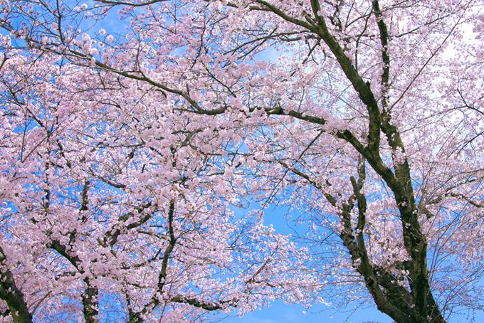 桜の和風背景(桜並木の背景フリー画像)