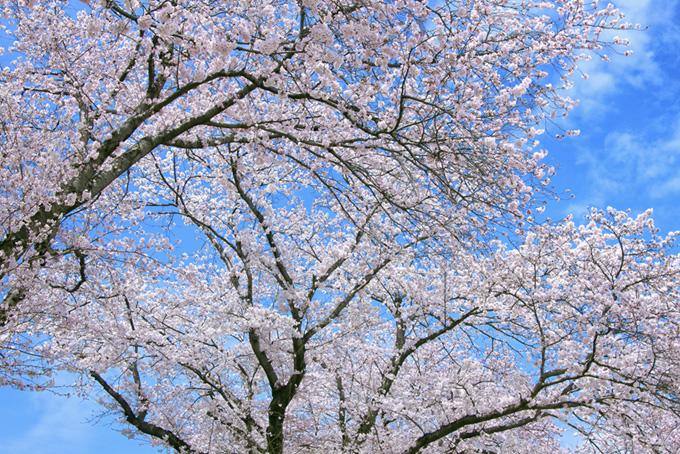 白いソメイヨシノの花と空(桜 サクラの画像)