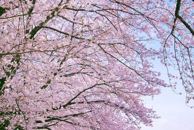 桜の和風背景(桜 サクラの画像)