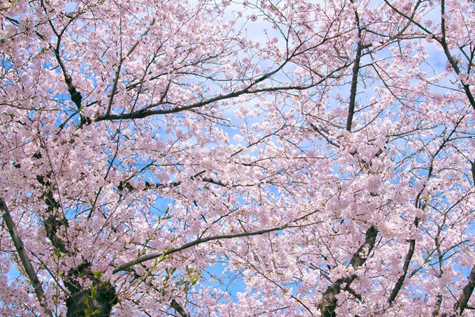 ピンクの桜の美しい背景(桜 サクラの画像)