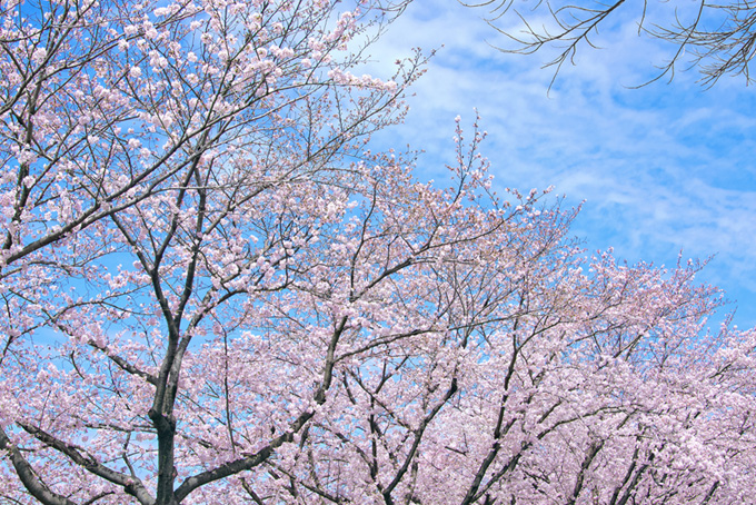 春の桜並木と青い空(桜 サクラの画像)