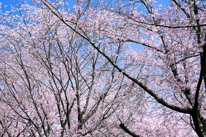 花をつけたサクラの木(桜 サクラの画像)
