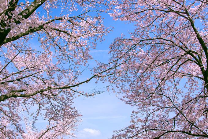 桜並木と春の空(桜 サクラの画像)