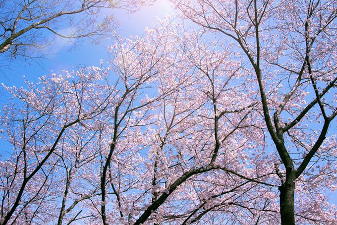 光が射し込む桜の木(桜 綺麗の画像)