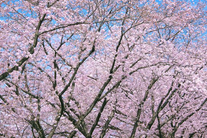 春の綺麗な桜の木(桜 サクラの画像)