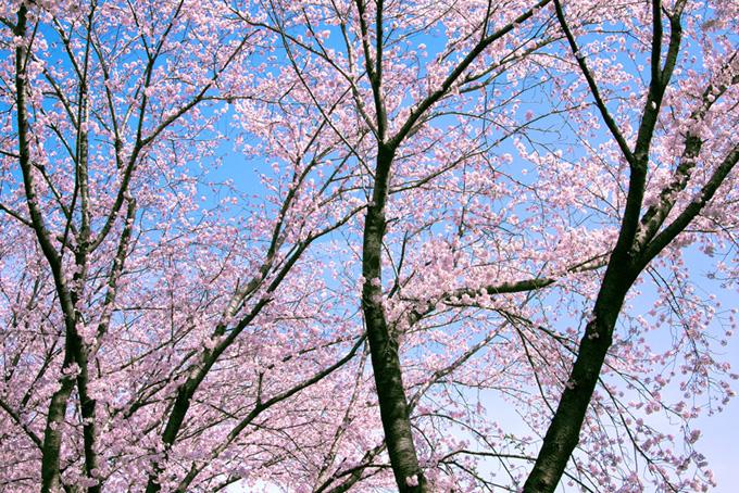 桜と空の爽やかな背景(桜 サクラの画像)