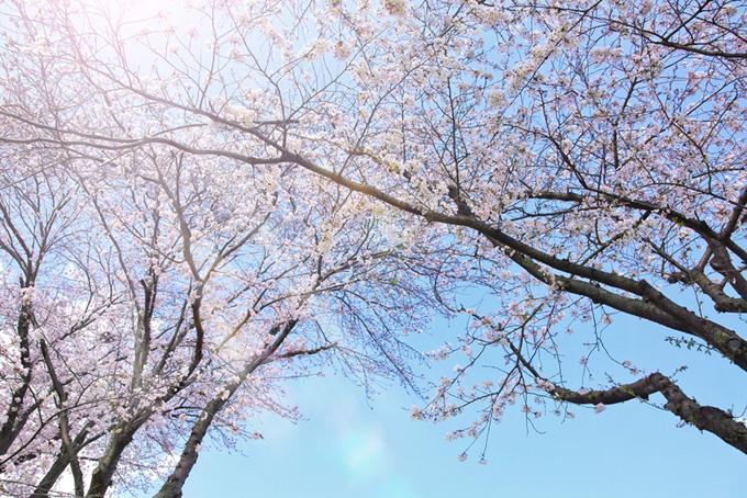 太陽の光が射し込む桜の木(桜 太陽の画像)