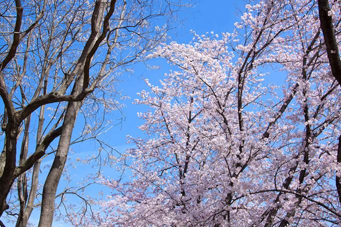 桜の木と綺麗な空(桜 サクラの画像)