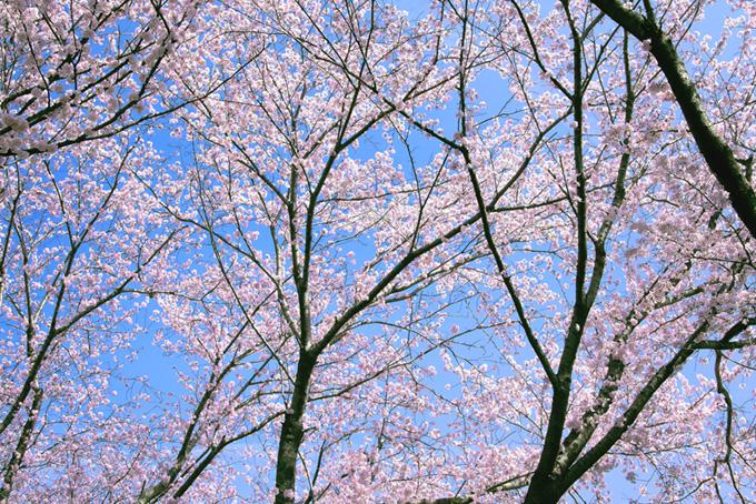 サクラの和風背景(桜 サクラの画像)