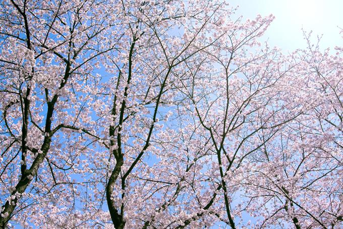 柔らかな光に包まれる桜林(桜 太陽の画像)