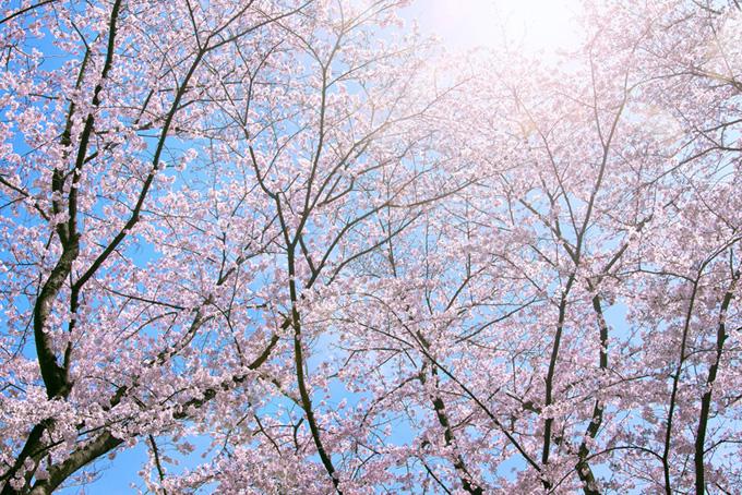 陽に照らされるピンクの桜(桜 太陽の画像)