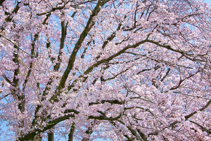 春のさくら景色(桜 サクラの画像)