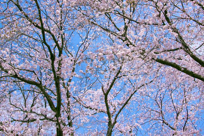 花を付ける桜(桜 サクラの画像)