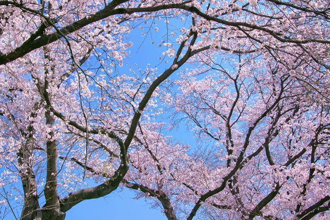 花を付けた桜の枝(桜 サクラの画像)