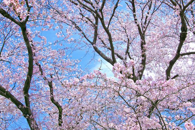 空と綺麗な桜景色(桜 サクラの画像)