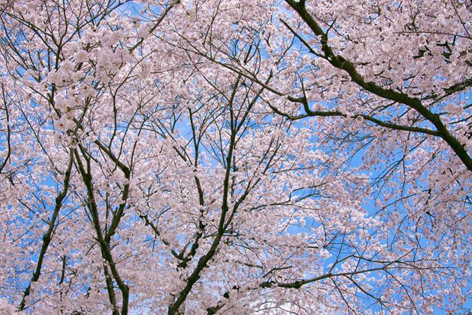 青い空と春の桜林(桜 サクラの画像)