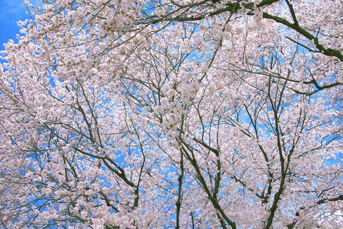 春空と無数のサクラの花(桜 サクラの画像)