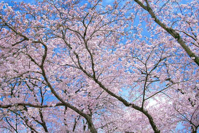 青空ときれいな桜の写真(桜 サクラの画像)