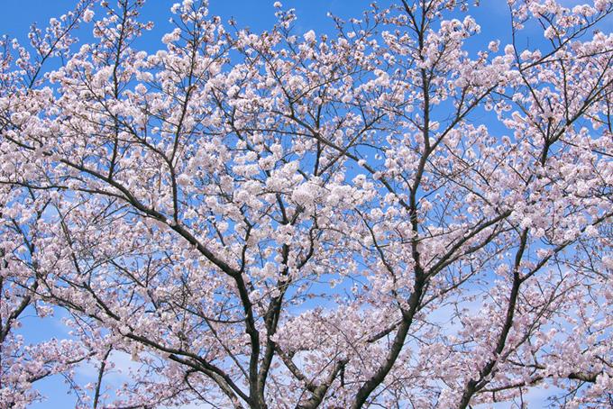 かわいい花をつけた桜(桜 サクラの画像)