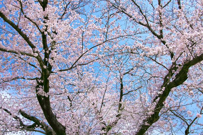 サクラと空の鮮やかな風景(桜 サクラの画像)